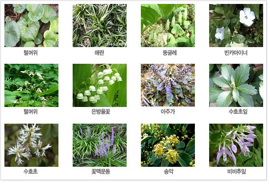 식생식물 사진입니다. 왼쪽위부터 털머위 / 애란 / 둥글래 / 빈카마이너 / 바위치 / 은방울꽃 / 아주가 / 수호초잎 / 수호초 / 꽃맥문동 / 송악 / 비비추잎 입니다.